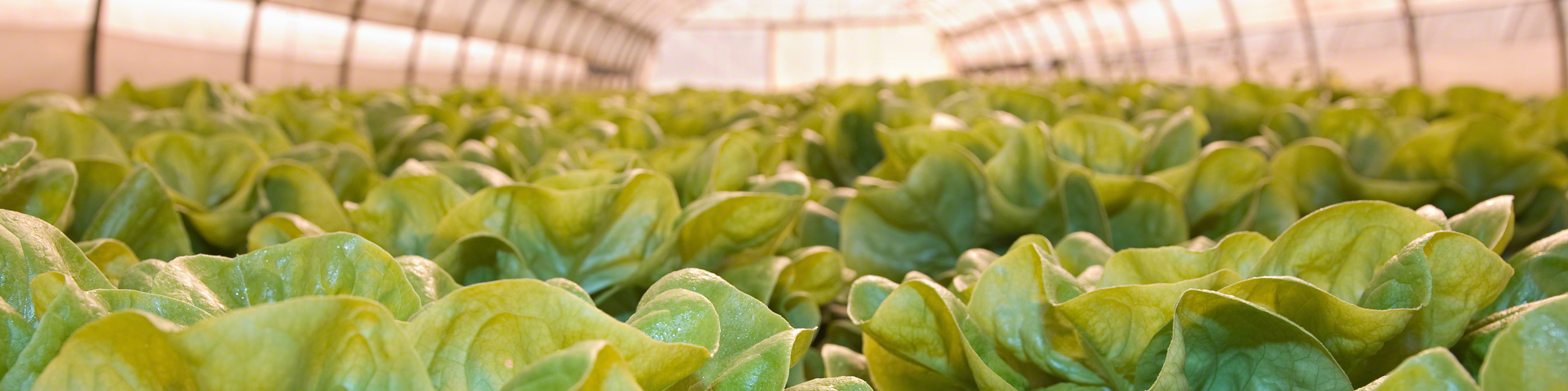 Lettuces in greenhouse